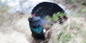 Gallo Cedrone in panning