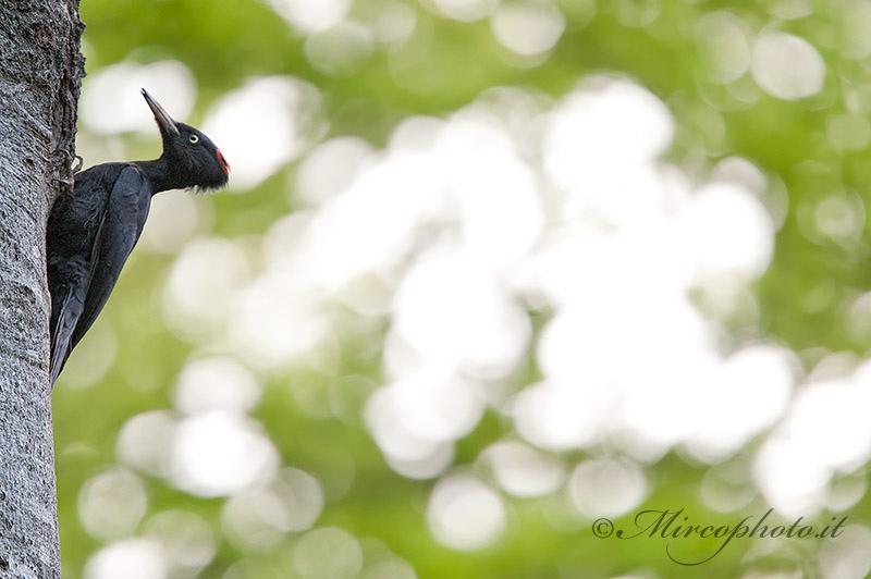 Picchio nero