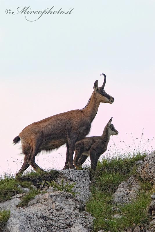 Camoscio,madre e piccolo