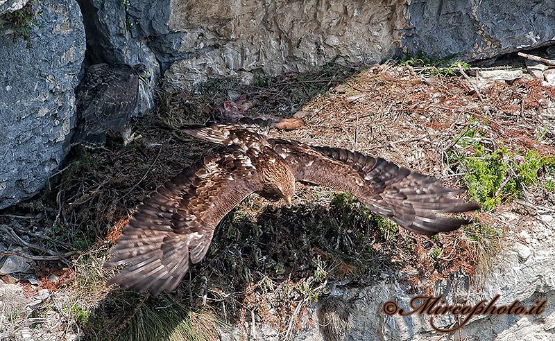 Aquila reale con aquilotto