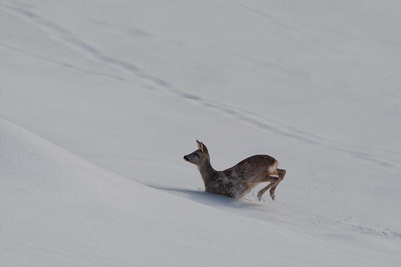 Capriolo e neve