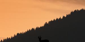 Capriolo al tramonto (silhouette)