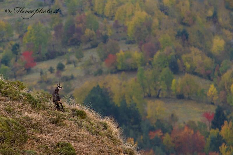 Camoscio …spettatore del magico autunno