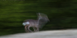 Capriolo (panning)