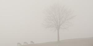 Mufloni e nebbia