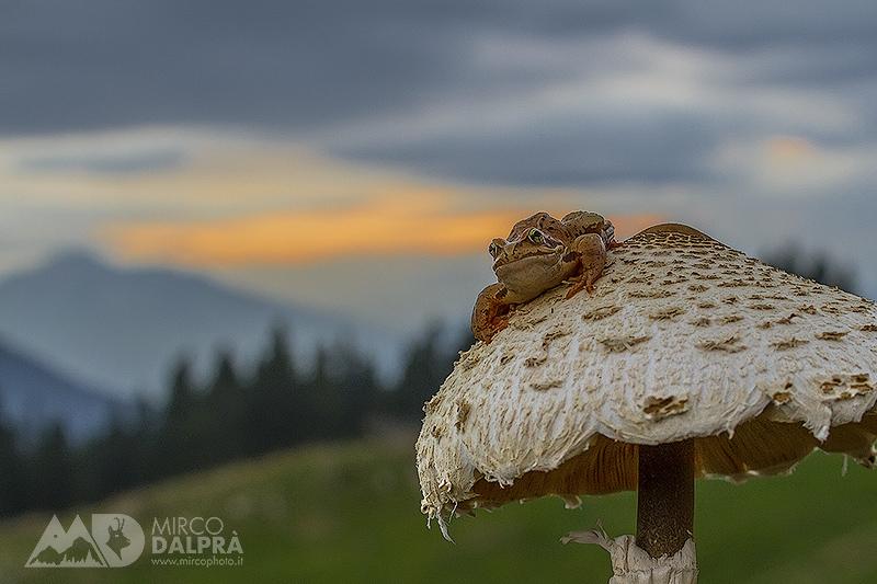 """Rana alpina su """"ombrellone"""""""