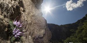 Raponzolo di roccia (Physoplexis comosa)