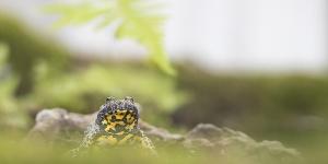 Ululone dal ventre giallo (Bombina variegata)