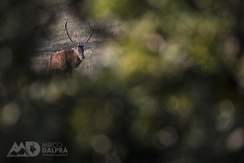 Cervo…albero come cornice