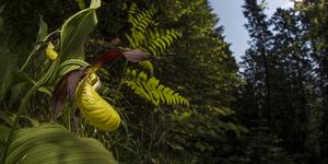 Scarpetta di Venere (Cypripedium calceolus)